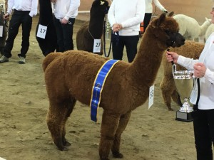 Supreme champion huacaya 2017 - Angermannas Barney